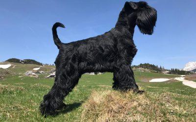 IŠA FLOR D'LUNA – črni srednji šnavcer