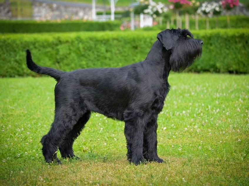FARLEY KELADOR – veliki črni šnavcer